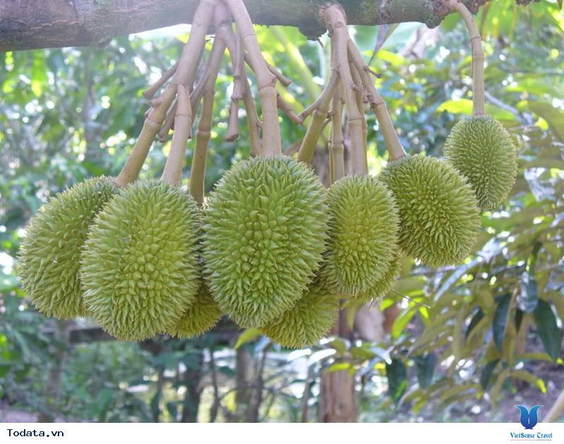 Về Vĩnh Long thăm miệt vườn sum suê trái ngọt