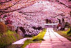 Hàn Quốc và những mùa hoa rực rỡ sắc màu