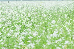 Kinh nghiệm du lịch Mộc Châu vào mùa hoa cải trắng