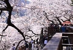 Lễ hội hoa anh đào mong đợi nhất vào mùa xuân ở Hàn Quốc