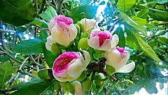 Mãn nhãn vẻ đẹp của hoa bàng vuông Lý Sơn
