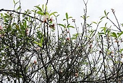 Ngỡ Ngàng Hoa Đào Nở Rộ Trên Mộc Châu Giữa Tiết Trời Mùa Thu