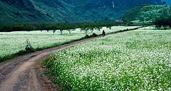 Nhẹ bước vào tinh khôi với mùa hoa cải trắng Mộc Châu