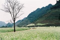 Những địa điểm ngắm hoa cải trắng đẹp nhất ở Mộc Châu