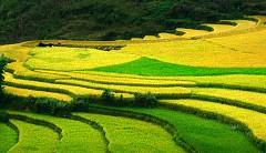 Vào mùa lúa, Hoàng Su Phì lộng lẫy như vàng như ngọc