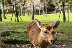 Công Viên Nara- Thiên Đường Của Hươu Sao Nhật Bản