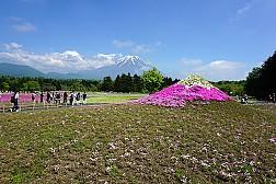Hoa Chi Anh Trên Núi Phú Sĩ