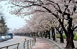 Lặng Ngắm Hoa Anh Đào Ở Yeouido