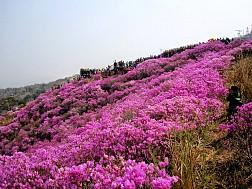 Lễ Hội Hoa Đỗ Quyên Tại Công Viên Hwangmaesan