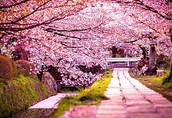 Lộng lẫy sắc hoa mùa anh đào ở Hàn Quốc