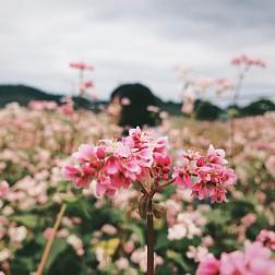 Mùa Hoa Tam Giác Mạch đẹp mê đắm lòng người nơi mảnh đất Hà Giang