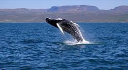 Ngắm cá voi ở Hermanus