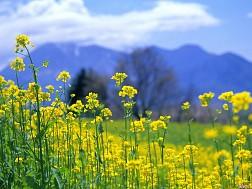 Sắc xuân hoa cải nhuộm vàng Hàn Quốc đẹp ngất ngây