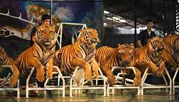 Sriracha Tiger Zoo có gì hấp dẫn