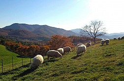 Trang Trại Cừu Đẹp Nhất Gangwon