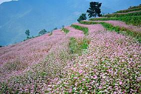 Hoa tam giác mạch Tà Nung