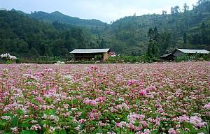 Địa điểm ngắm hoa tam giác mạch đẹp nhất ở Hà Giang?
