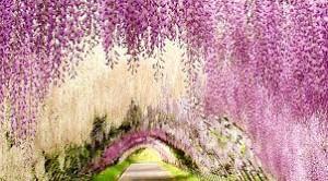 Thỏa sức trải nghiệm cùng đường hoa tử đằng tại Nhật Bản