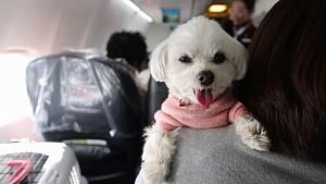 Tour du lịch thú vị bằng máy bay cùng chó tại Nhật Bản