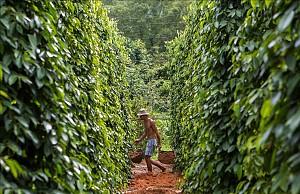 Vườn tiêu Phú Quốc cay nồng nhung nhớ