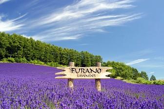 Phong hoa tuyệt đại Hokkaido Lavender: Sapporo - Tokyo - Fuji - Yakohama