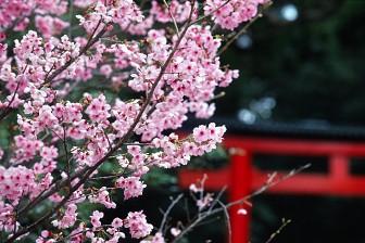 Tour du lịch ngắm hoa anh đào tại Nhật hành trình 5N4Đ bay từ TP.HCM