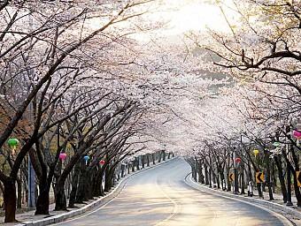 Du Lịch Ngắm Hoa Anh Đào tại Hàn Quốc 2017 6N5D