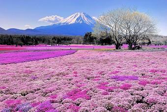 Lễ Hội Hoa Tử Đằng 24.4 Tokyo - Gagoya - Fuji - Kyoto - Osaka