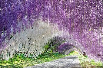 Lễ Hội Hoa Tử Đằng 25.4 Osaka - Kyoto - Nagoya - Fuji - Tokyo
