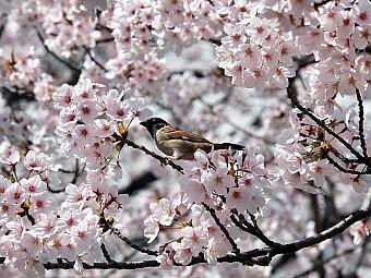 Tour hoa anh đào Nhật Bản khởi hành 26/3, 7/4/2017 từ HN