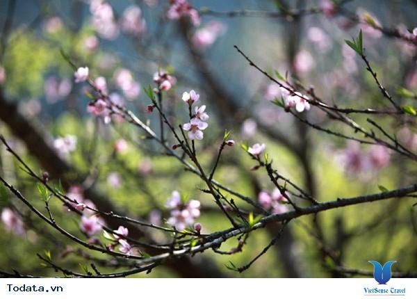 Ngỡ Ngàng Hoa Đào Nở Rộ Trên Mộc Châu Giữa Tiết Trời Mùa Thu - Ảnh 2