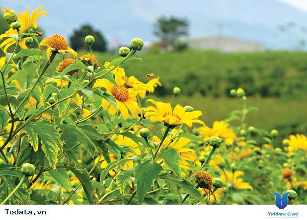 Tháng 10 Du Lịch Đà Lạt Ngắm Hoa Dã Quỳ Nở Rực - Ảnh 5