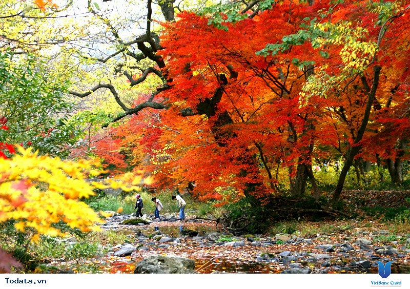 Vi vu Hàn Quốc ngắm mùa thu lá đỏ nhuộm màu trời - Ảnh 2