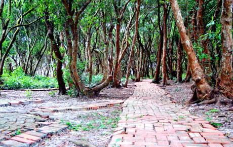 Dạo Bước Rừng Trâm Trên Đảo Quan Lạn - Ảnh 1