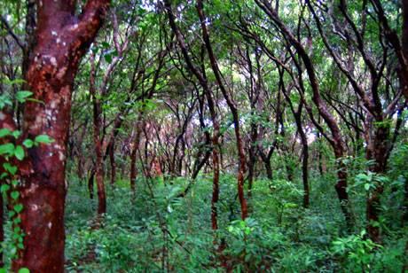 Dạo Bước Rừng Trâm Trên Đảo Quan Lạn - Ảnh 3