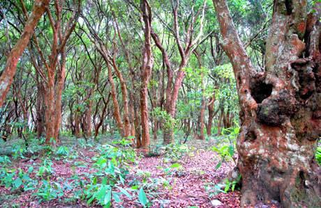 Dạo Bước Rừng Trâm Trên Đảo Quan Lạn - Ảnh 4