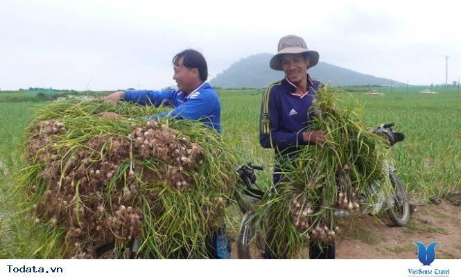 Du lịch đảo Lý Sơn vào mùa thu hoạch tỏi - Ảnh 2