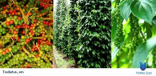 Vườn tiêu Phú Quốc cay nồng nhung nhớ - Ảnh 4